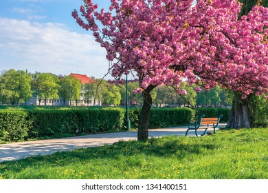 branches of sakura tree in blossom above the bench the walkway. grassy lawn with dandelions. sunny springtime forenoon. fluffy clouds on the sky. location Uzhgorod, Ukraine.