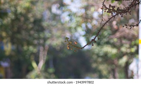 branches of Sala flower tree and golden-yellow buds on a blurred background in the sunlight