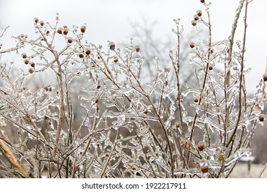 Branches and seed pods covered in a layer of ice following a winter ice storm
