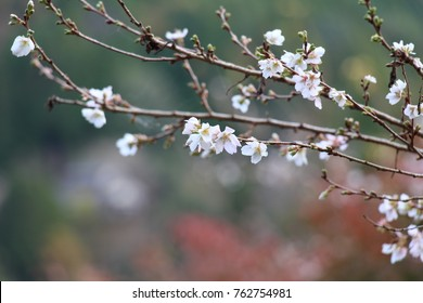 Branches of Shikizakura a.k.a. 4 season sakura with blurred background