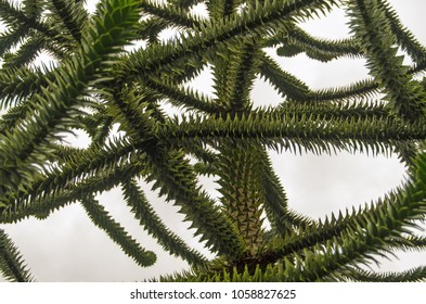 Branches and spikey leaves of a monkey puzzle tree, latin name Araucaria araucana against a grey and overcast sky.