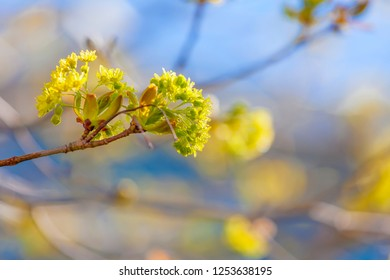Branches of spring flowers of the Norway Maple, Acer platanoides.