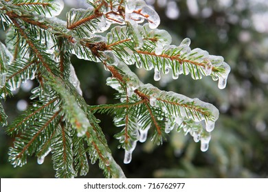 branches of spruce covered with ice after rain
