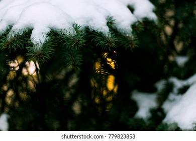 branches of spruce with snow