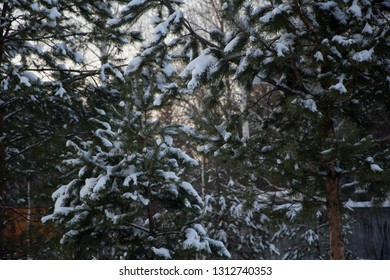 The branches of spruce trees with snow in Sunny winter's day. Close-up. Forest winter background.
