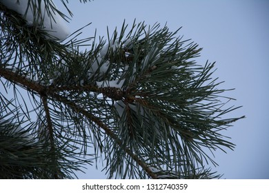 The branches of spruce trees with snow in Sunny winter's day. Close-up. Sky background.