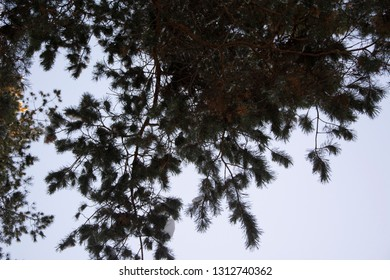The branches of spruce trees with snow in Sunny winter's day.