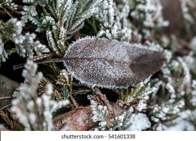 branches of thuja and dry leaves in hoarfrost in winter, macro