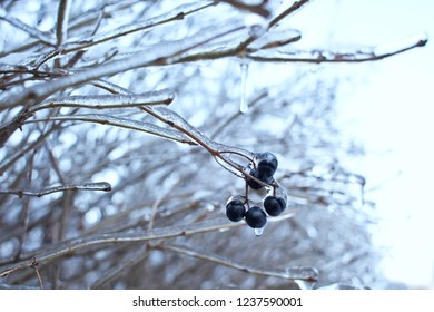 Branches of the tree with black berries after the sleet, ice crust and icicles. Blurred, Christmas background. Trees in frost. Selective focus. Close up
