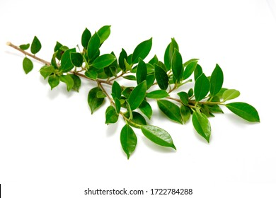 The branches of a tree with bright green leaves laid on a white background are used for decoration.