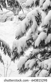Branches of a tree covered and hampered with fresh snow. Cars seen in the background. Black and white.