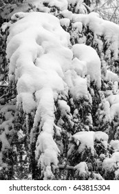 Branches of a tree covered and hampered with fresh snow. Black and white.
