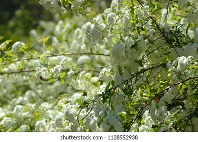 Branches of a tree are covered with small white blossoms and green leaves. Each flower has multiple petals.
