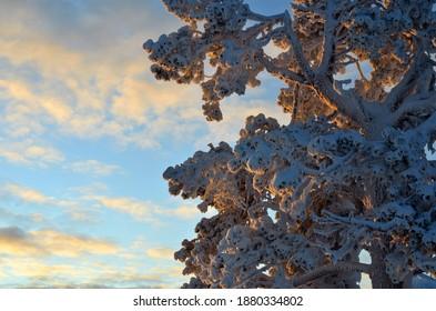 Zweige von Bäumen mit Schnee bedeckt bei Sonnenuntergang. Schöner Winter in Lappland