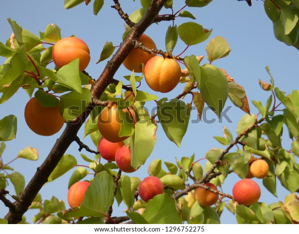 Branches of a tree full of ripe apricots in Spain