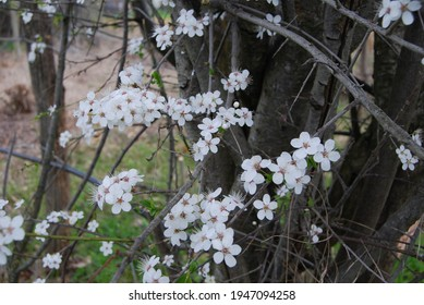 The branches of a tree (prunus cerasifera, also called cherry-plum) with many beautiful small white flowers. Delicate flowers with 5 petals and filaments in the center.