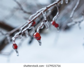 Branches of the tree  with red berries after the sleet, ice crust and icicles. Blurred, Christmas background. Trees in frost.  New Year. Selective focus. Close up