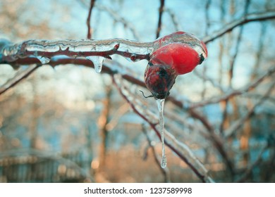 Branches of the tree with red berries after the sleet, ice crust and icicles. Blurred, Christmas background. Trees in frost. Selective focus. Close up