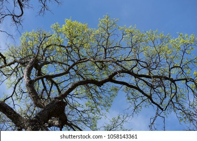 Branches of a tree with young leaves against a blue sky in a city park on a sunny spring afternoon in Dallas