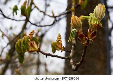 Branches of trees and bushes with buds and first leaves in spring  - Shutterstock ID 1974859064