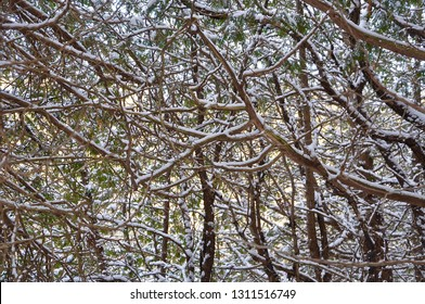 Branches of trees with snow backgrounds