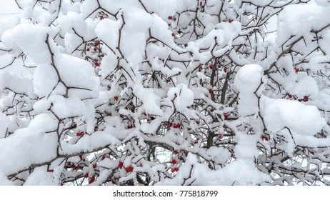 branches of trees under snow