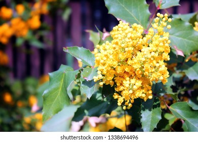 Branches of trees with yellow flowers. back lan, beautiful bokeh. Spring flowering trees. Flowering tree branch with yellow flowers close up