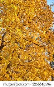 Branches of trees with yellow leaves hang over the river, golden autumn, reflections, leafs on water, sun beams through yellow leaves, branches of trees, yellow color, black trunks of trees