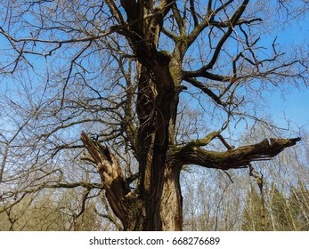 Branches and trunk of an old tree against a blue sky