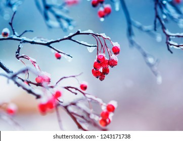 branches of viburnum with bright juicy red clusters of berries are covered with ice and snow during a cold rain in the winter garden