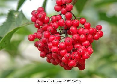 Branches of viburnum (viburnum opulus) berries with its leaves,viburnum fruit on the tree,