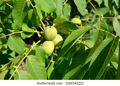 Branches with walnut leaves and fruits (Juglans regia)