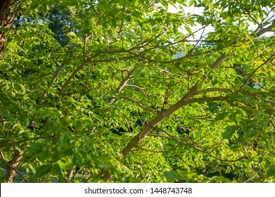 branches of a walnut plant