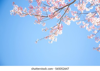 Branches of wild Himalayan cherry (Prunus cerasoides) with vibrant pink cherry blossoms on their branches on bright blue sky background in Japanese tone with copy space (soft focus)