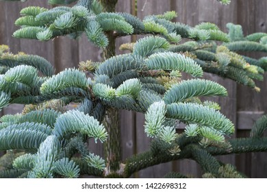 Branches of young Noble fir (Abies procera) in a botanical garden in spring. Beautiful soft needles with a blue silver color.