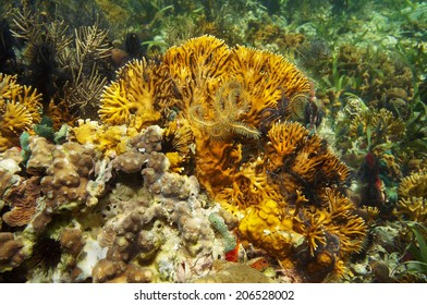 branching fire coral, Millepora alcicornis with brittle stars, Caribbean sea