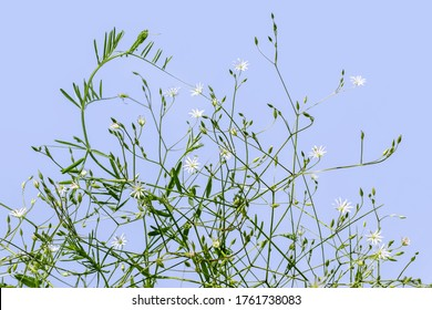 Branching stems of meadow Stellaria graminea plant isolated on a blue background. Small white flowers on branched stalks with green leaves and buds, beautiful meadow-field grass