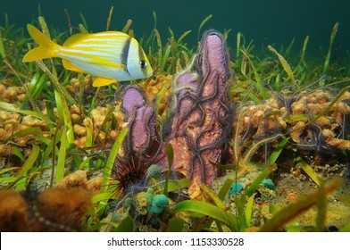 A branching tube sponge covered by brittle stars with a tropical fish (porkfish) underwater in the Caribbean sea, Panama, Central America