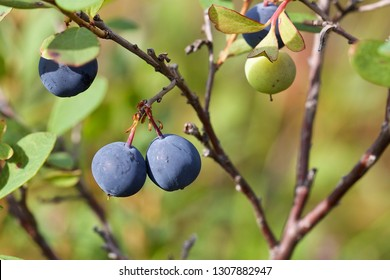A branchlet with two delicious round indigo blue bog bilberries, Western Siberia.