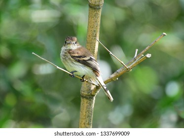 Bran-colored Flycatcher (Myiophobus fasciatus) perched on a bamboo tree branch