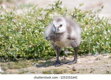Brandgans, Barnacle Goose, Branta leucopsis; lookout