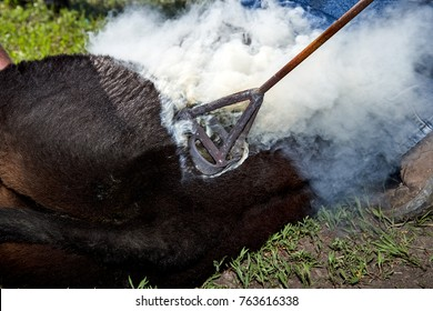 Branding a young steer or cow with a hot branding iron in a cloud of smoke as it is applied to the hide