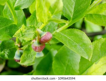 brandnew blueberries start to grow, spring