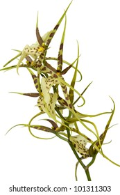 Brasiia maculata orchid on white background
