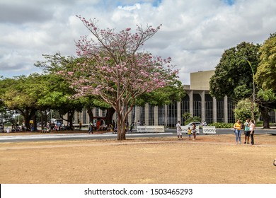 Brasilia, Brazil, September 19, 2019: People in the park next to a beautiful ipe rose bush near the Itamaraty Palace on Brazil Independence Day, September 7