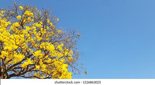 Brasilia, Federal District, Brazil - september 20 2019: Yellow flowers tree