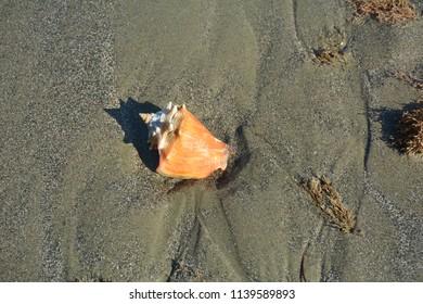 Brasilian shell in the beach