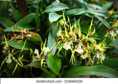 Brassia orchid flowers blooming in the garden