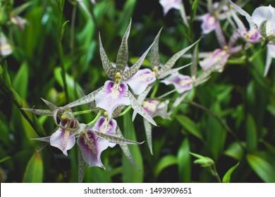 Brassia orchid,Bratonia Miltassia Charles M Fitch Izumi Orchids