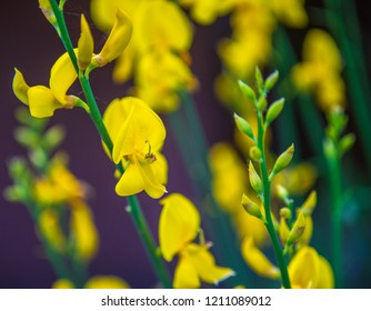 Brassica Napus - Cavolo Navone - Pianta Floreale